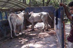 শ্যামনগর সীমান্তে আট ভারতীয় গরু আটক